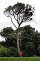 La conifera del parco Coronini.jpg
