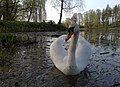 Labuť na rybníku v Trnávce - panoramio.jpg