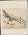 Lacerta ocellata - 1700-1880 - Print - Iconographia Zoologica - Special Collections University of Amsterdam - UBA01 IZ12400087.tif