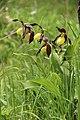 Lady's-Slipper Orchid - Cypripedium calceolus - panoramio (51).jpg