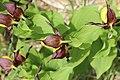 Lady's-Slipper Orchid - Cypripedium calceolus - panoramio (58).jpg