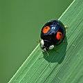 Ladybird (35943015942).jpg