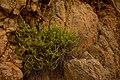 Lafuentea rotundifolia80857.jpg