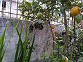 Lagartas no limoeiro3.jpg