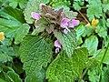 Lamiales - Lamium purpureum - 5.jpg