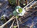 Lamiales - Mentha aquatica - 1.jpg