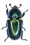 Lamprima adolphinae Gestro, 1875 female (2945172866).jpg