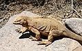 Land Iguana - Santa Fe.jpg