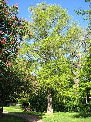 Landau Ginkgo Savoyenpark