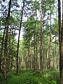 Larch Trees in Hill of Seabeg Wood - geograph.org.uk - 767869.jpg