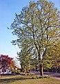 Large Lime Tree, Chase Road, London N14 - geograph.org.uk - 889377.jpg