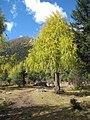 Larix potaninii - Picea balfouriana.jpg