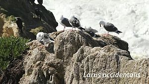Datei:Larus occidentalis bei Bodega Bay.webm