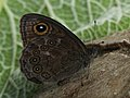 Lasiommata maera - Large wall brown - Бархатка (42087277675).jpg