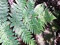 Lastreopsis silvestris RBG Sydney.jpg