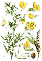 Hrachor lúčny (Lathyrus pratensis)