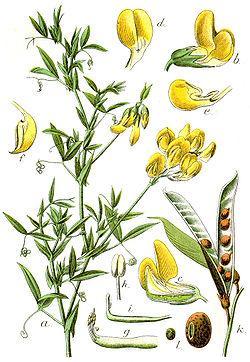 Lathyrus pratensis Sturm16.jpg