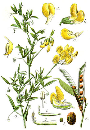 Description de l'image Lathyrus pratensis Sturm16.jpg.