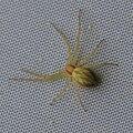 Laufspinne Philodromus sp., Ph. rufus or Ph. albidus 9323.jpg