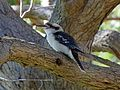 Laughing Kookaburra - Flickr - GregTheBusker (1).jpg