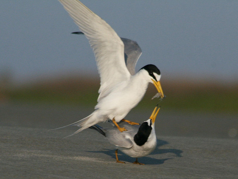 File:Least Tern (Sternula antillarum) RWD3.jpg
