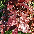 Leaves of copper beech - geograph.org.uk - 442926.jpg