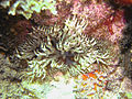Lebrunia danae1.jpg