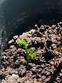 Lemon tree sprout.jpg