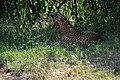 Leopard at Yala National Park.jpg