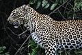 Leopard in Shimba Hills 1.jpg