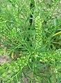 Lepidium campestre - inflorescence, seedhead (18431066754).jpg