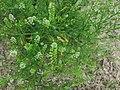 Lepidium campestre - whole plant (18431064934).jpg