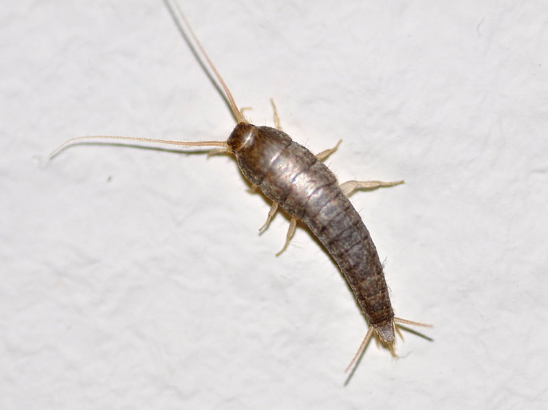 The Pesky Silverfish: A Bug Profile
