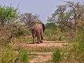 Les éléphants dans la réserve faunique de Kalfou1.jpg