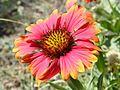 Les belles fleurs - panoramio - youssef alam (17).jpg