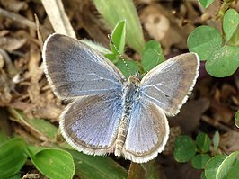 Lesser Grass Blue Zizina otis UP by kadavoor.jpg