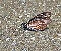 Lesser Mime (Chilasa epycides) at Samsing, Duars, WB W IMG 6420.jpg