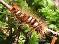 Leucoma salicis larva2.jpg