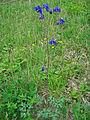 Leutratal-Aquilegia-vulgaris-2415.jpg