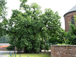 Province flowers of Sweden - Quercus robur