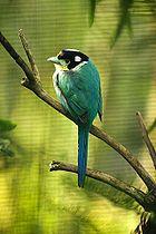 Long-tailed Broadbillfairly common resident