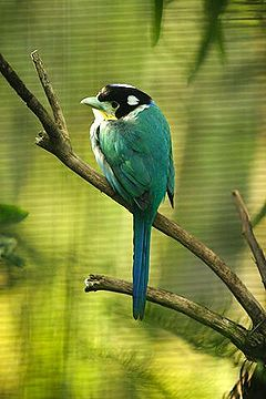 Lightmatter Long-tailed broadbill.jpg