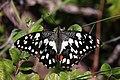Lime butterfly (Papilio demoleus stenelinus) male Rinca I.jpg