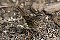 Lincoln's Sparrow National Butterfly Center Mission TX 2018-02-28 15-36-04 (25792169477).jpg