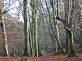 Lindenhill Wood - geograph.org.uk - 648224.jpg