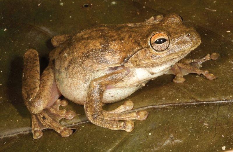 Umar Treefrog