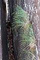 Lomandra confertifolia Tophams.jpg