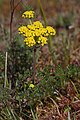 Lomatium utriculatum 6416.JPG