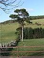 Lone Pine - geograph.org.uk - 374327.jpg