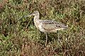 Long-billed curlew, Numenius americanus, Moss Landing (Elkhorn Slough and beach), California, USA. (30917766066).jpg
